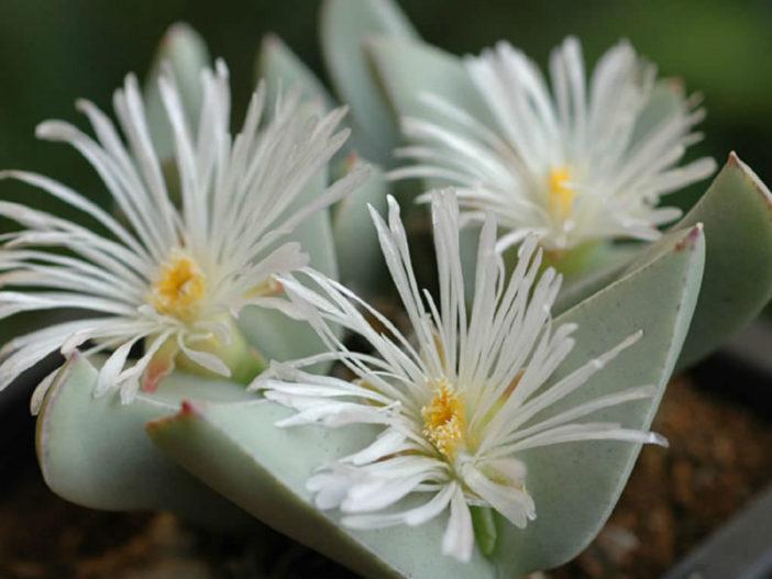 Conophytum herreanthus