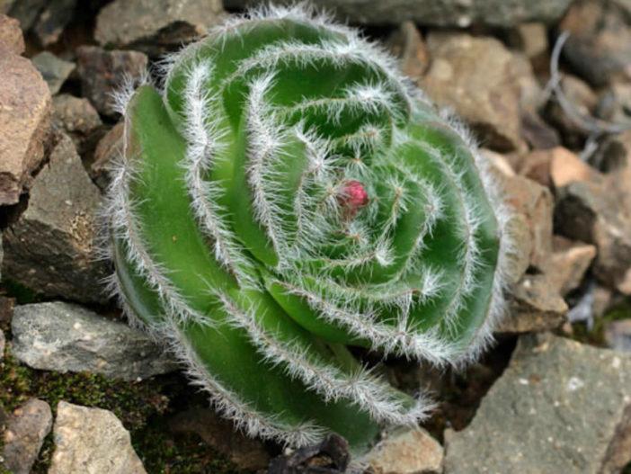 Crassula barbata (Bearded-leaved Crassula)