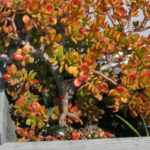 Crassula ovata 'Crosby's Compact' (Dwarf Jade Plant)