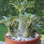 Dorstenia lavrani (Tabia Gorge Dorstenia)