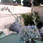 Echeveria leucotricha (Chenille Plant)