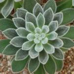 Echeveria leucotricha - Chenille Plant