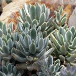 Echeveria leucotricha (Chenille Plant) aka Echeveria pulvinata var. leucotricha