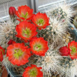 Echinocereus coccineus (Scarlet Hedgehog Cactus)