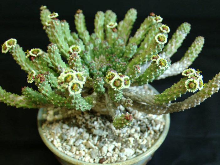 Euphorbia caput-medusae (Medusa's Head)