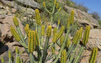 Euphorbia tescorum