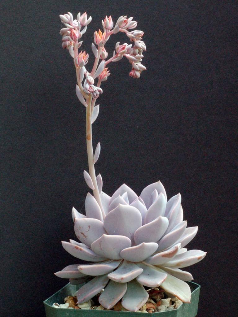 Graptoveria Debbie World Of Succulents