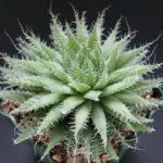 Haworthia arachnoidea (Cobweb Aloe)