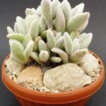 Kalanchoe eriophylla (Snow White Panda Plant)