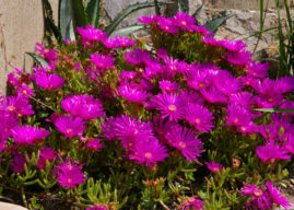 How to Grow and Care for Lampranthus