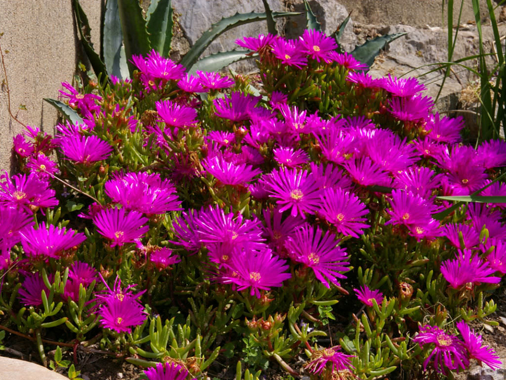 How To Grow And Care For Lampranthus World Of Succulents