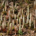 Orostachys fimbriata (Dunce's Caps)
