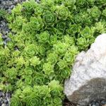 Orostachys malacophylla - Green Duncecap