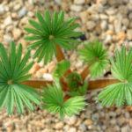 Oxalis palmifrons (Palm-leaf False Shamrock)