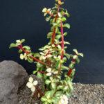 Portulacaria afra 'Medio-picta' - Midstripe Rainbow Bush