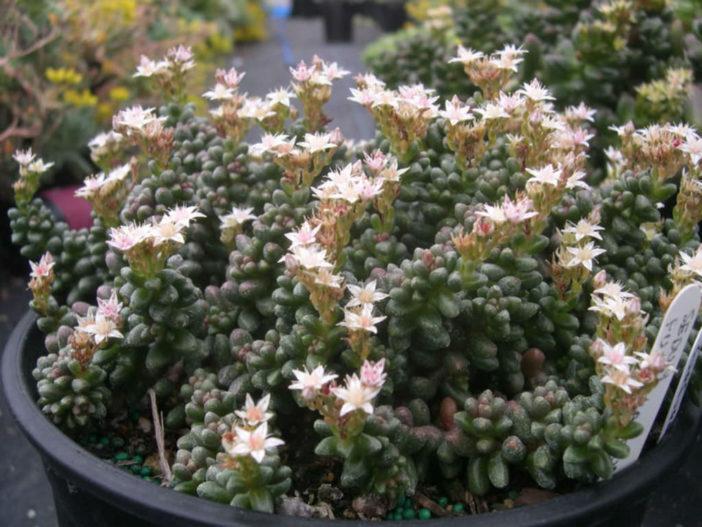 Sedum furfuraceum (Bonsai Sedum)