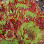 Sempervivum 'Andrenor'