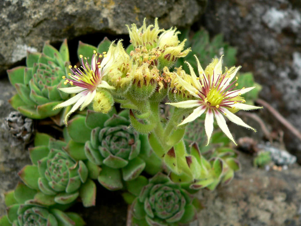Sempervivum Grandiflorum World Of Succulents
