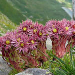 Sempervivum montanum (Mountain Houseleek)