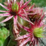 Sempervivum montanum - Mountain Houseleek