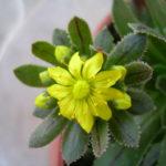 Aeonium x hybridum aka Aeonium x barbatum