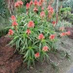 Aloe scorpioides