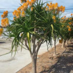 Aloe tongaensis 'Medusa' - Mozambique Tree Aloe