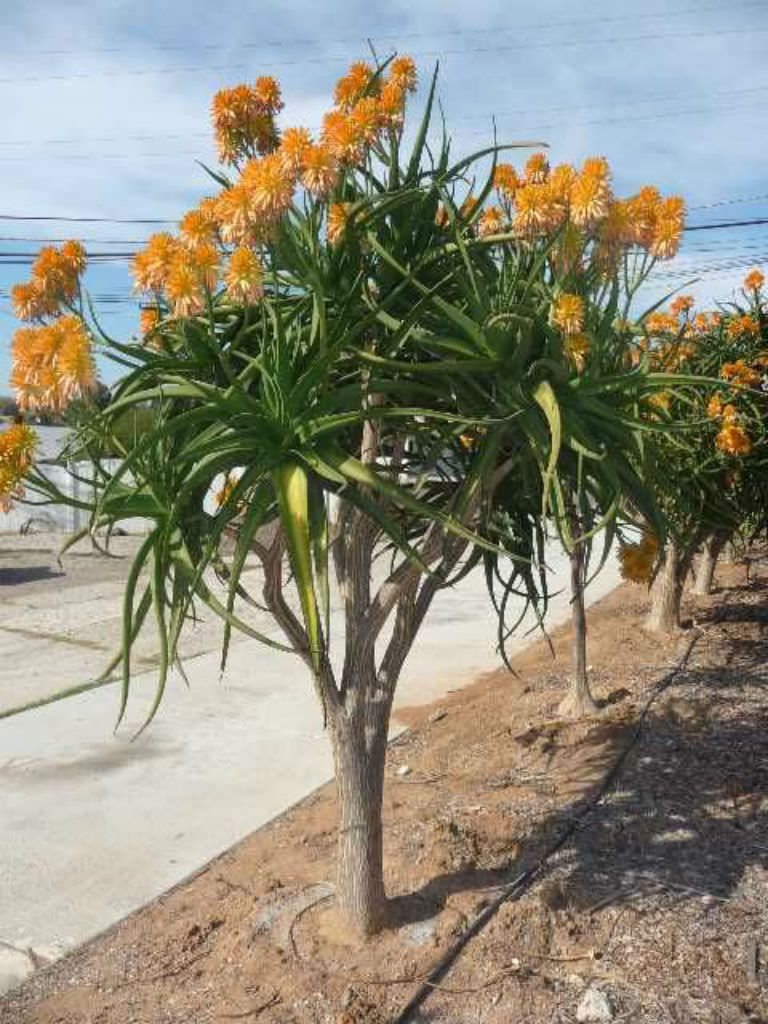 Aloe Tongaensis Medusa Mozambique Tree World Of