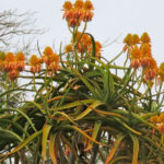 Aloidendron tongaense 'Medusa' (Mozambique Tree Aloe) aka Aloe tongaensis 'Medusa'