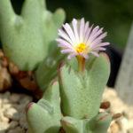 Conophytum bilobum subsp. gracilistylum