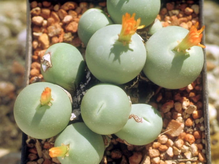 Conophytum calculus - Marble Buttons