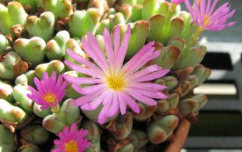Conophytum chauviniae