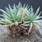 Dudleya albiflora - Live Forever