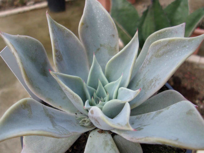 Echeveria cuspidata