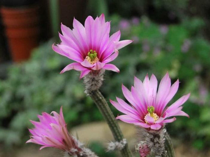 Echinocereus poselgeri - Dahlia Cactus