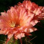 Echinopsis 'Graser's Schonste'