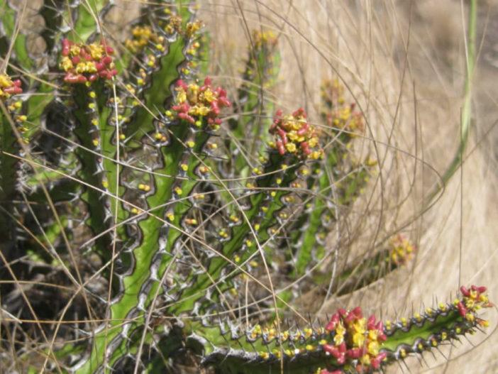 Euphorbia ramulosa