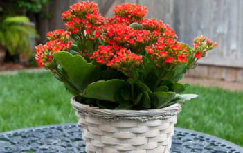 Flaming Katy (Kalanchoe blossfeldiana) Cuttings
