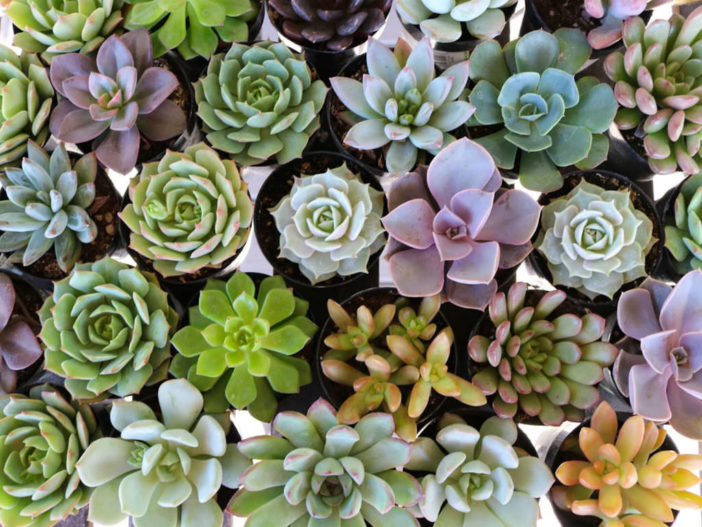 Happy and Healthy Succulents