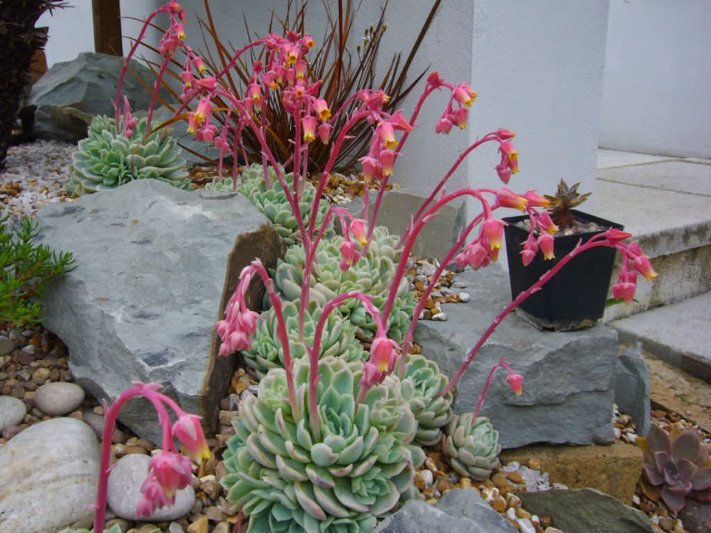 How to Grow and Care for a Mexican Snowball (Echeveria ...