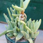 Mitrophyllum grande
