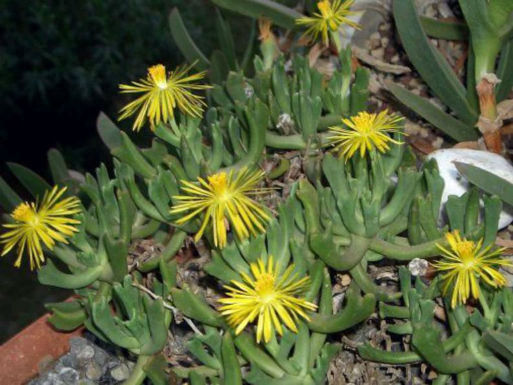 Garden Bush: Rhombophyllum Dolabriforme - Elkhorn Plant