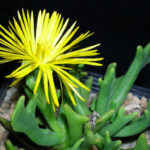 Rhombophyllum dolabriforme - Elkhorn Plant