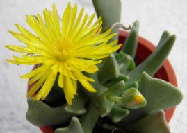 Rhombophyllum dolabriforme – Elkhorn Plant