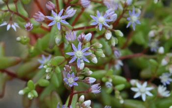 Sedum caeruleum - Azure Stonecrop