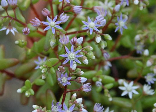 Sedum caeruleum – Azure Stonecrop