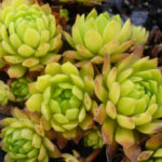 Sempervivum 'Cmiral's Yellow'