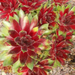 Sempervivum 'Royal Ruby'
