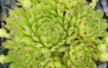 Sempervivum montanum subsp. stiriacum - Mountain Houseleek