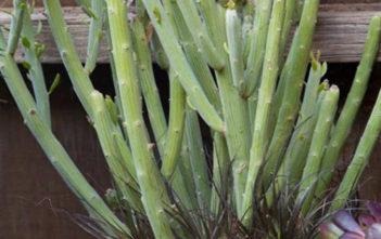 Senecio longiflorus - Paintbrush Flower